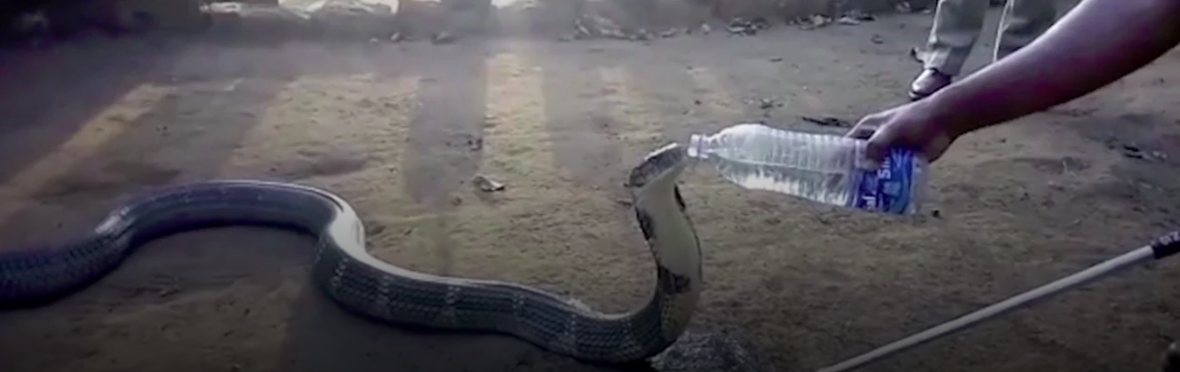 snake drinks water from bottle